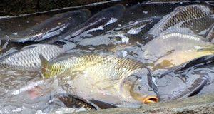 O kaproch trocha odborne: popis kapra rybničného
