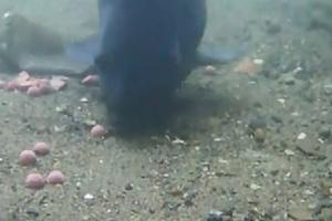 Podvodní video: Strach kaprů z boilies