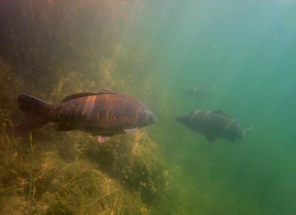 Tohoto lysce jsem potkal pod vodou při šnorchlování. Prozradil mi tak místo, kde se nachází. Později jsem ho tam také ulovil.