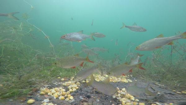 Nejběžnější pohled na vaše krmné místo – je obsazené bílými rybami