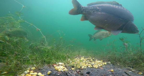 Podivná partička – kapr, karas, štika a bílé ryby v pozadí. Pod hladinou našich vod ale zcela běžný pohled