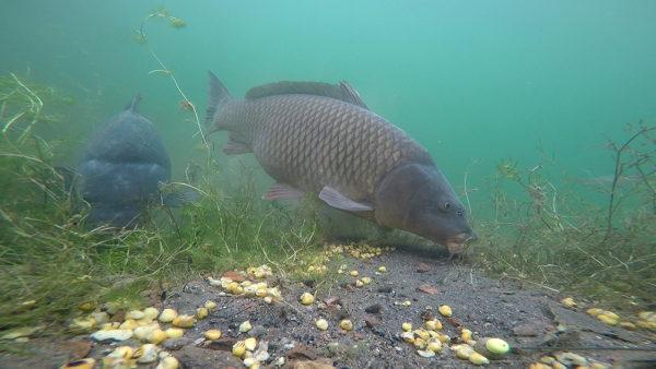 Často vidíte plotice, perlíny a další ryby, jak krmné místo opouští okamžitě po tom, co se objeví kapři