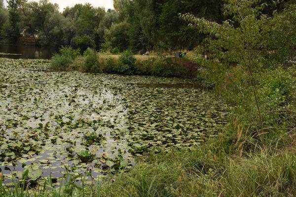 V létě nalezneme velké množství kaprů ve vodních rostlinách