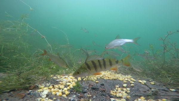 Naše krmné místo je často okupováno smíšenými hejny ryb