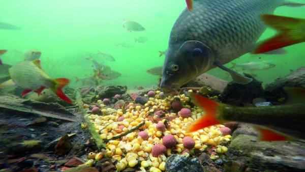 Při prvním potopení kamery nenajížděli kapři mnohem pomaleji, než když se tu krmilo dlouhodobě.
