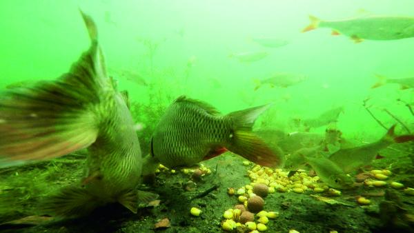 Bílá ryba většinou vyklízí velkým kaprům automaticky krmné místo. Malé kapříky ale ignoruje. A mohou tam být klidně dva.