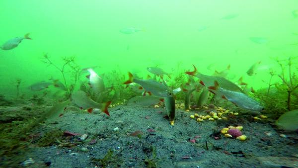Čím méně je na dně krmení, tím více si bílá ryba všímá vašich nástrah pod háčkem.