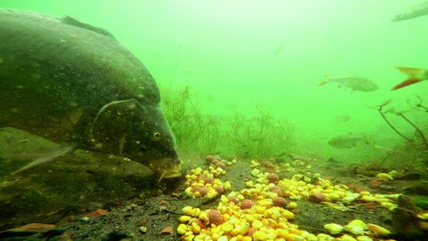 Čím více se voda zakalí, tím důvěřivěji kapři žerou. Zákal zřejmě přitahuje i další ryby.