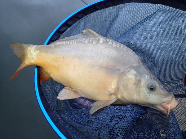 Kapřík je bonusová ryba v těžkých mrazech
