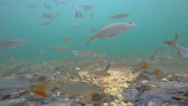 Bílá ryba se před kameru tradičně vrhla bezprostředně po zákrmu