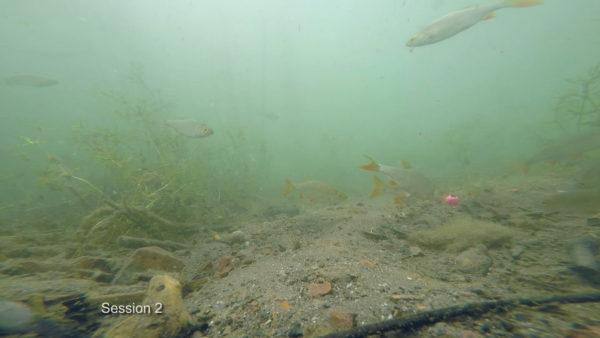 Čím méně je ve vodě krmení, tím více si bílá ryba všímá nástrah