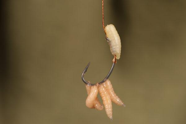 Naneseme tři až čtyři červy na háček tak, jak je znázorněno na obrázku