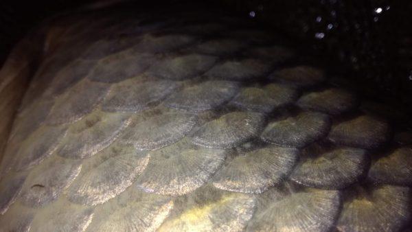 Šupiny divoké ryby